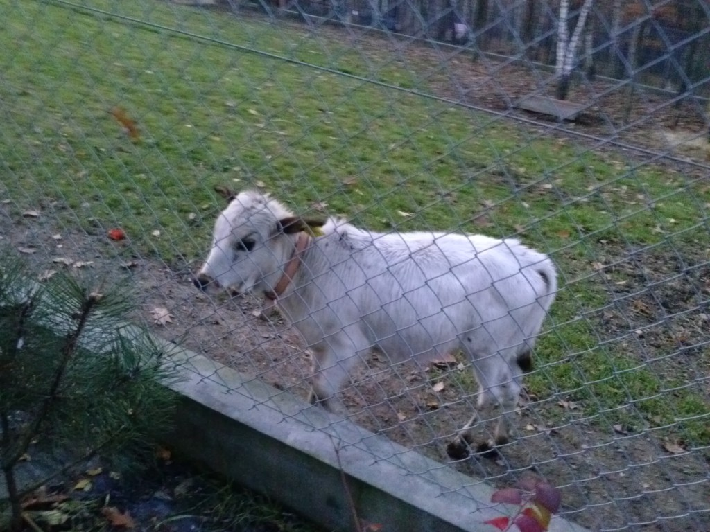 Krowa Mini Zebu